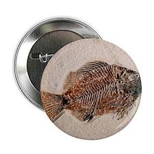 Fossilised fish, Priscacara serata - 2.25
