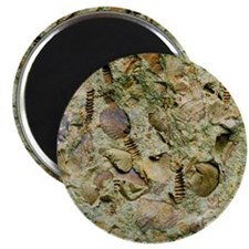 A mixed assemblage of fossils - Magnet