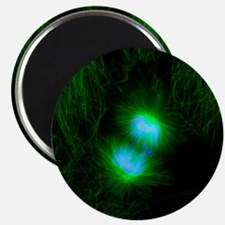 Cell division, fluorescent micrograph - Magnet