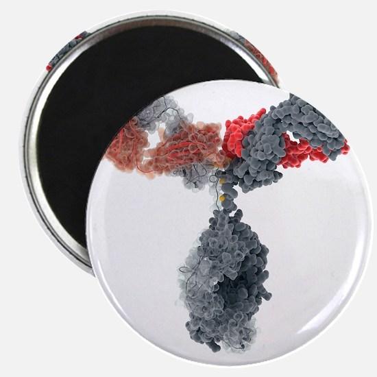 Immunoglobulin G antibody molecule - Magnet
