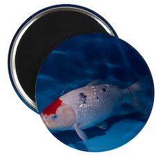 Sanke Koi Carp pool - Magnet
