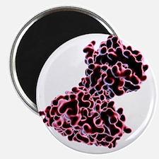Shiga toxin from E. coli - Magnet