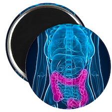 Healthy large intestines, artwork - Magnet
