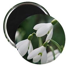 Snowdrop flowers - 2.25