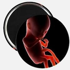 Two month old foetus, artwork - 2.25