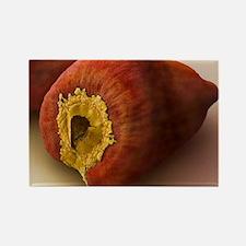 Annatto seed, SEM - Rectangle Magnet