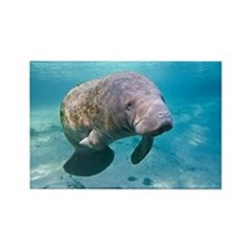 Florida manatee swimming - Rectangle Magnet