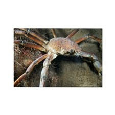 Great spider crab - Rectangle Magnet