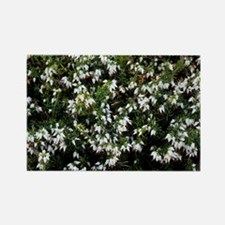 Heather 'Snow Queen' flowers - Rectangle Magnet