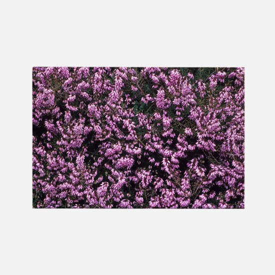 Heather 'W G Pine' flowers - Rectangle Magnet