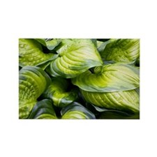 Hosta 'Stained Glass' - Rectangle Magnet
