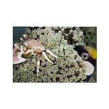 Porcelain crab - Rectangle Magnet
