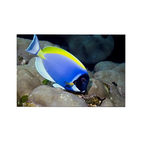 Powder-blue tang - Rectangle Magnet by sciencephotos