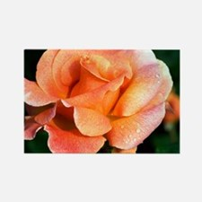 Rose (Rosa 'Can-Can') - Rectangle Magnet