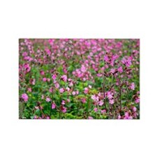 Red campion (Silene dioica) - Rectangle Magnet
