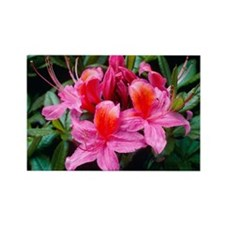Rhododendron 'Fanny' - Rectangle Magnet