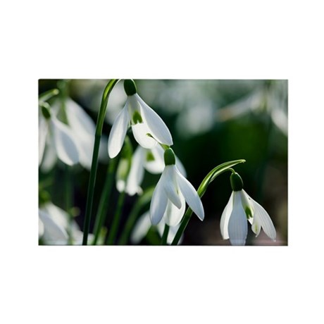 Snowdrop (Galanthus sp.) - Rectangle Magnet