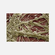 Synapse nerve junctions, SEM - Rectangle Magnet