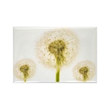Dandelion seed heads - Rectangle Magnet