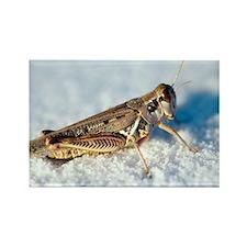 Desert locust, on white gypsum - Rectangle Magnet