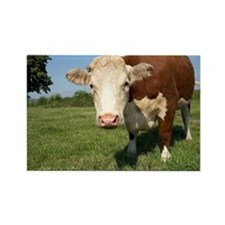 Hereford cow - Rectangle Magnet