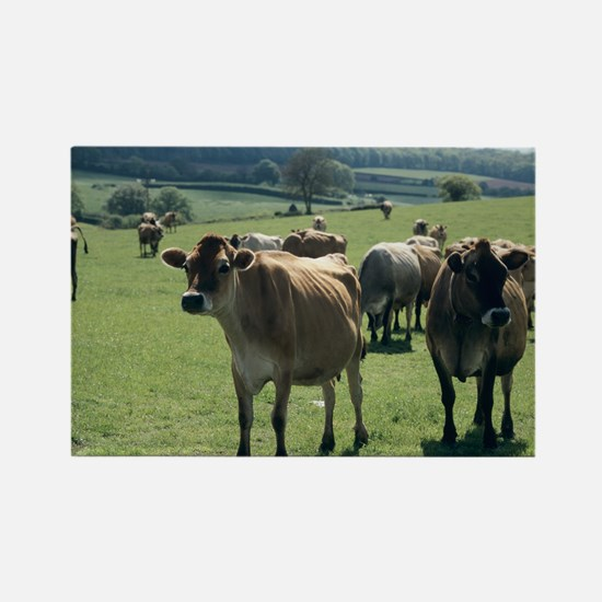 Jersey cows - Rectangle Magnet