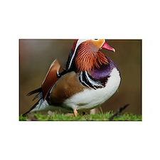 Male mandarin duck - Rectangle Magnet