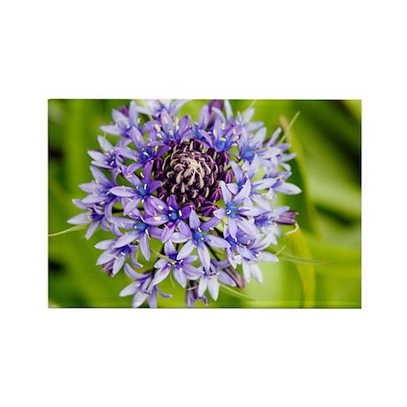 Scilla peruviana flowers - Rectangle Magnet