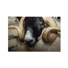 Scottish blackface ram - Rectangle Magnet