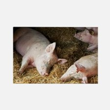 Sleeping pigs - Rectangle Magnet