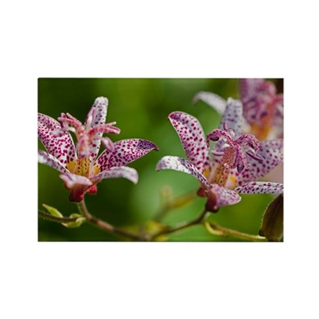 Toad Lily (Tricyrtis 'Tojen') - Rectangle Magnet