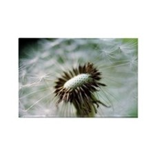 Dandelion seed head - Rectangle Magnet