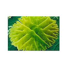 Green alga, Micrasterias - Rectangle Magnet
