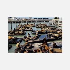 California sea lions - Rectangle Magnet