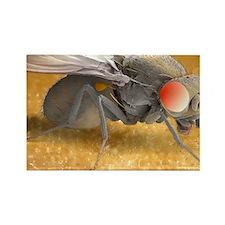 Fruit fly, SEM - Rectangle Magnet
