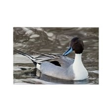 Male pintail - Rectangle Magnet