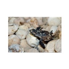 Hatching hawksbill turtle - Rectangle Magnet