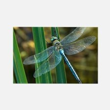 Male emperor dragonfly - Rectangle Magnet
