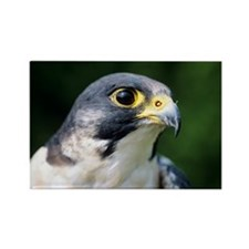 Peregrine falcon - Rectangle Magnet