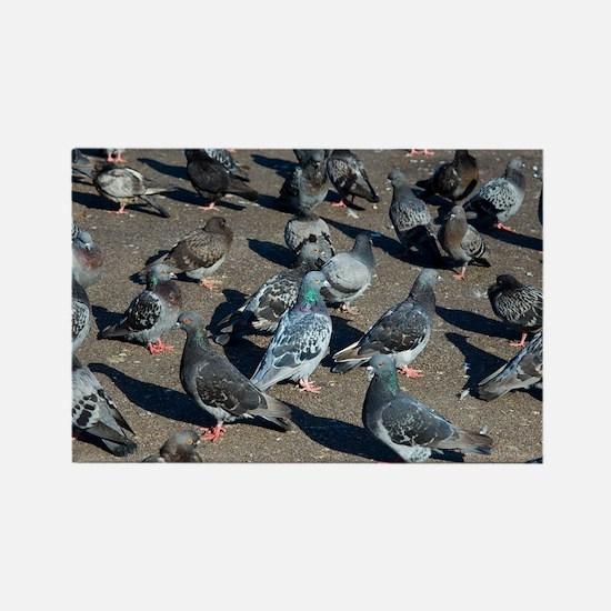 Rock pigeons - Rectangle Magnet