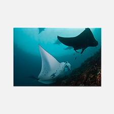 Manta rays - Rectangle Magnet (10 pk)