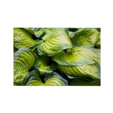 Hosta 'Stained Glass' - Rectangle Magnet (10 pk)