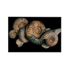Ammonites - Rectangle Magnet (10 pk)