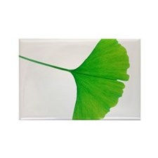 Leaf of Ginkgo biloba - Rectangle Magnet (10 pk)