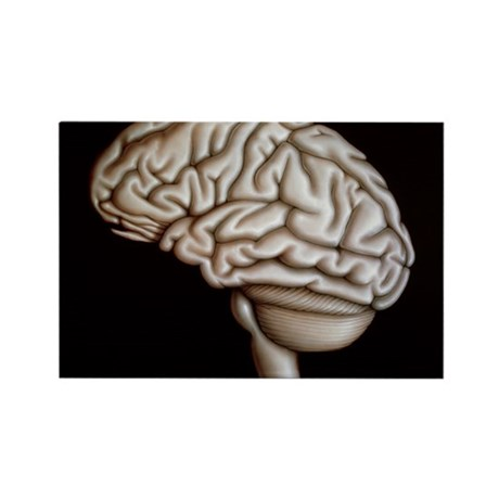 Human brain - Rectangle Magnet (10 pk)