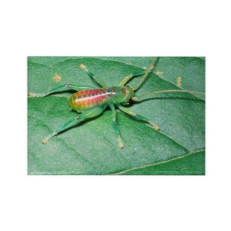 Bush-cricket nymph - Rectangle Magnet (10 pk)