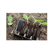 Courgette seedlings - Rectangle Magnet (10 pk)