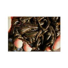 dicinal leeches - Rectangle Magnet (10 pk)
