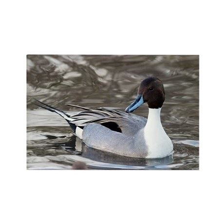 Male pintail - Rectangle Magnet (10 pk)