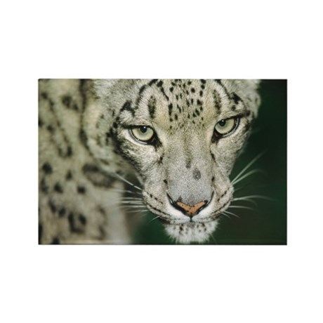 Snow leopard - Rectangle Magnet (10 pk)